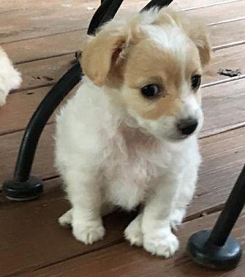 Atlanta Ga Pomeranian Meet Sophie A Pet For Adoption