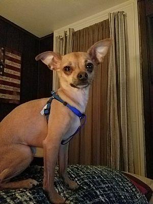 syracuse, NY - Chihuahua  Meet Charlie a Pet for Adoption