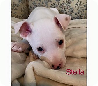 Blue Bell Pa Jack Russell Terrier Meet Stella A Pet For Adoption