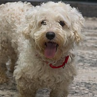 Poodle (Standard) Mix Dog for adoption in Howell, Michigan - Ladson