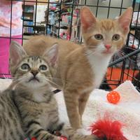 Domestic Shorthair/Domestic Shorthair Mix Cat for adoption in Ellicott City, Maryland - Nacho