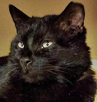 Domestic Shorthair Cat for adoption in Santa Fe, New Mexico - Mr. BC