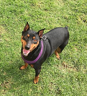 Miniature Pinscher Mix Dog for adoption in Marina del Rey, California - Chuckie