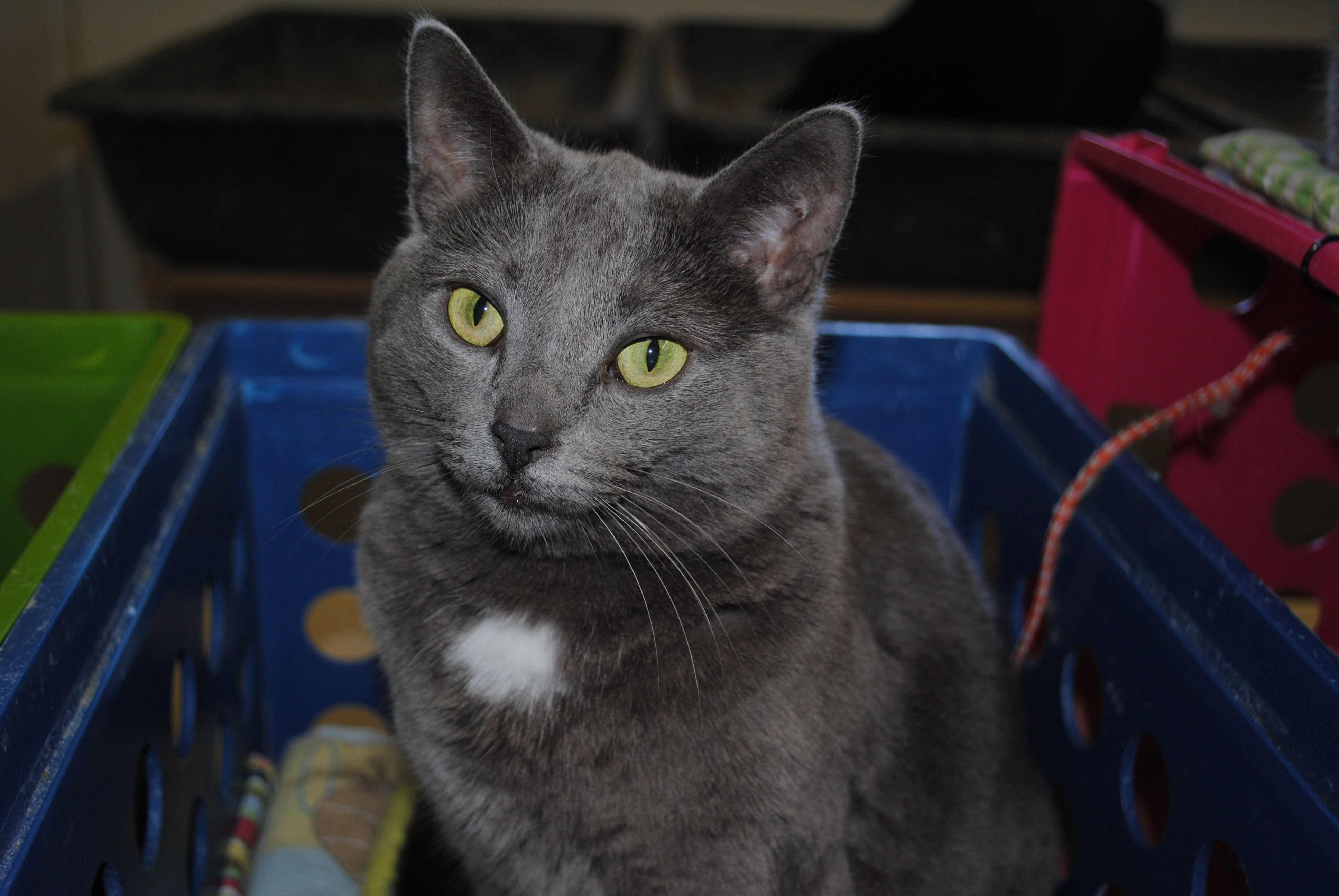Bay City MI Russian Blue Meet Nika a Cat for Adoption