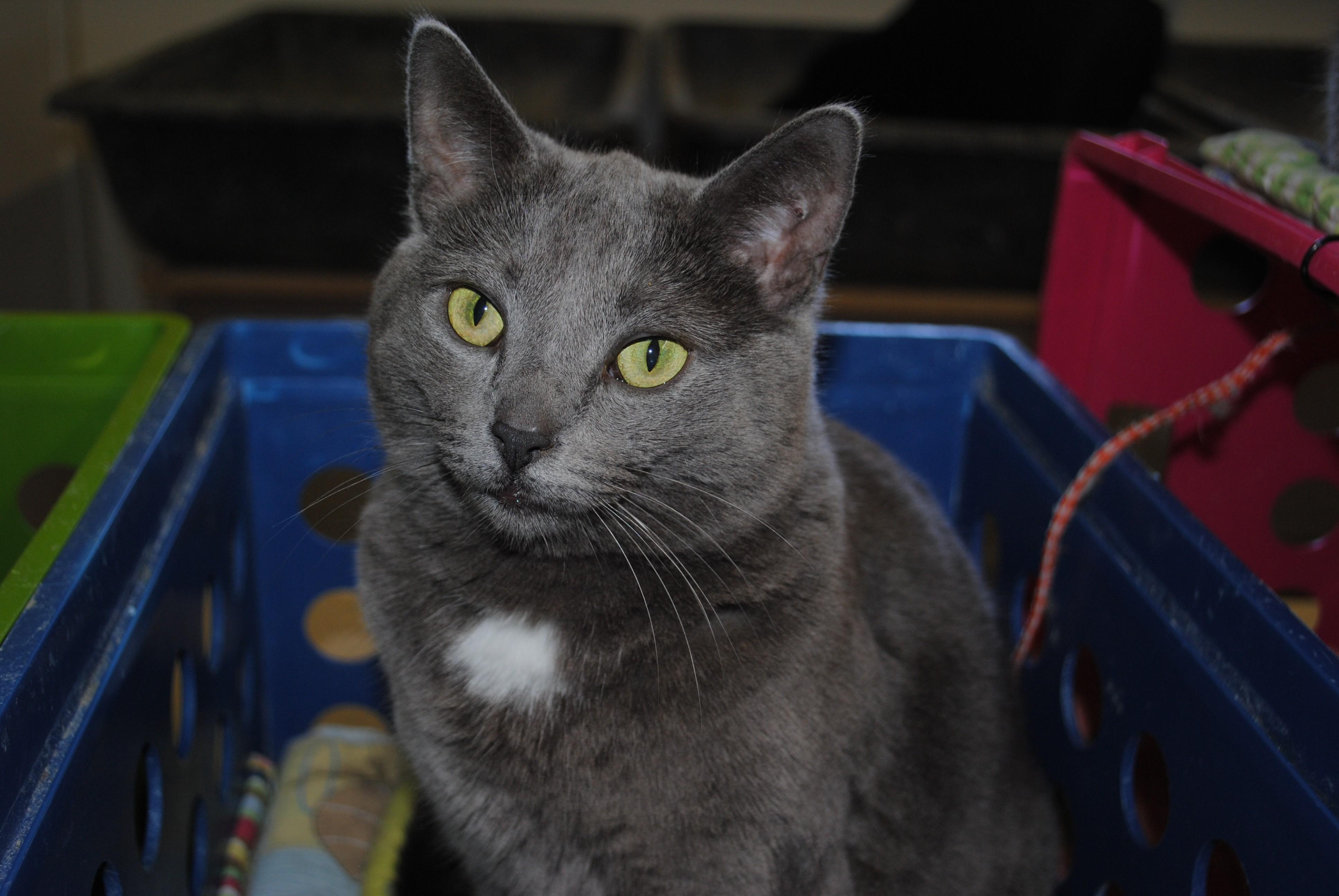 Bay City MI Russian Blue Meet Nika a Cat for Adoption