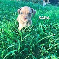 Adopt A Pet :: Sara - Boston, MA