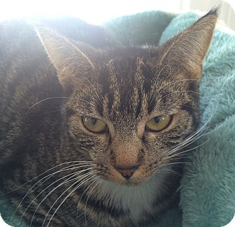 Domestic Shorthair Cat for adoption in Greensburg, Pennsylvania - Daisie