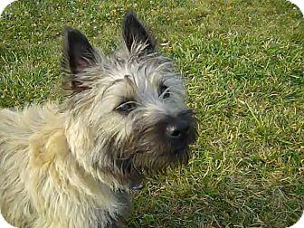 Columbus, OH - Cairn Terrier  Meet Benji a Pet for Adoption