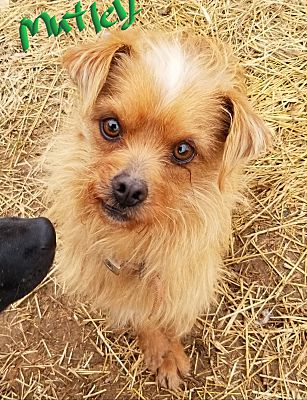 Ararat, VA - Terrier (Unknown Type, Small)  Meet Mutley a