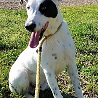 Dalmatian/Basset Hound Mix Dog for adoption in Jefferson, Texas - San Tanko