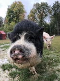 Adopt a Pet :: Sherman - Novelty, OH -  Pig (Potbellied)/Pig (Potbellied) Mix