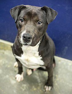 Adopt A Pet :: Bear  - Henderson, NC