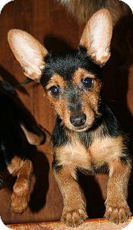 Richburg Sc Yorkie Yorkshire Terrier Meet Professor A Pet For