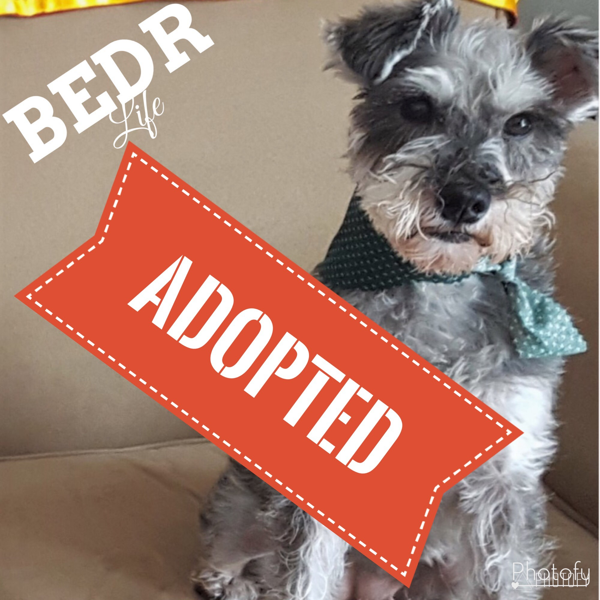 Regina Sk Miniature Schnauzer Meet Bella A Pet For Adoption