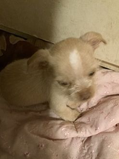 Adopt A Pet :: Sweet Angel, tiny puppy girl  - Corona, CA
