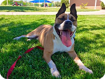 Akita/Staffordshire Bull Terrier Mix Dog for adoption in Las Vegas, Nevada - Zeke