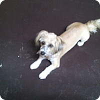 Waco Tx Shih Tzu Meet Baby A Pet For Adoption