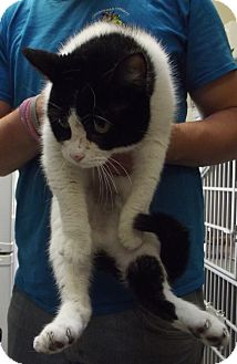 Domestic Shorthair Cat for adoption in Cheboygan, Michigan - Mona