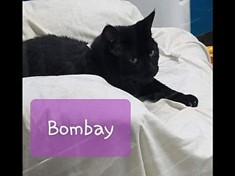 Adopt A Pet :: Bombay  - Mt Vernon, IN