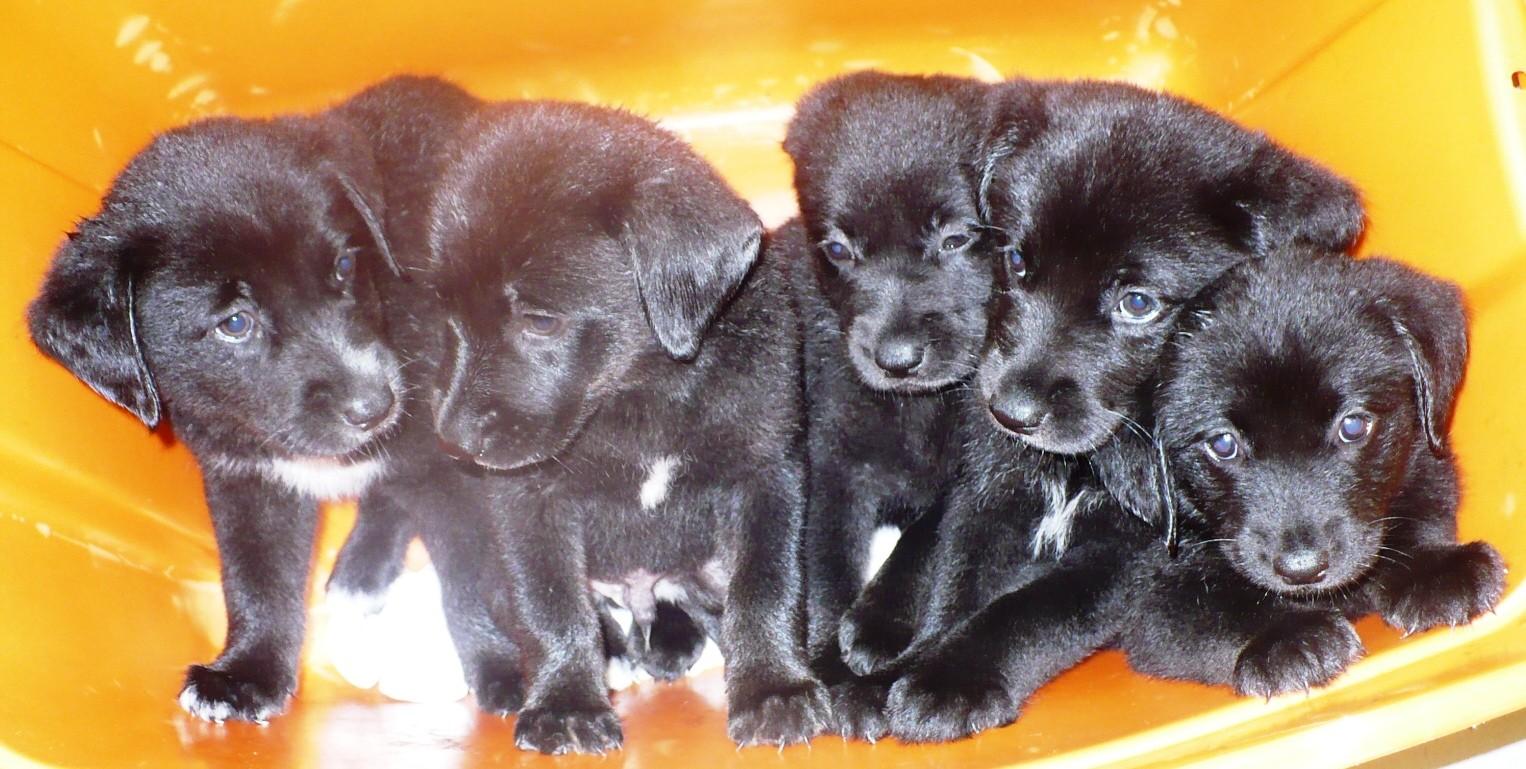 Eastpoint, FL - German Shepherd Dog. Meet German Shepherd/Lab puppies a Dog for Adoption.