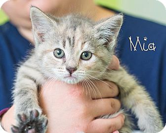 Domestic Shorthair Kitten for adoption in Somerset, Pennsylvania - Mia