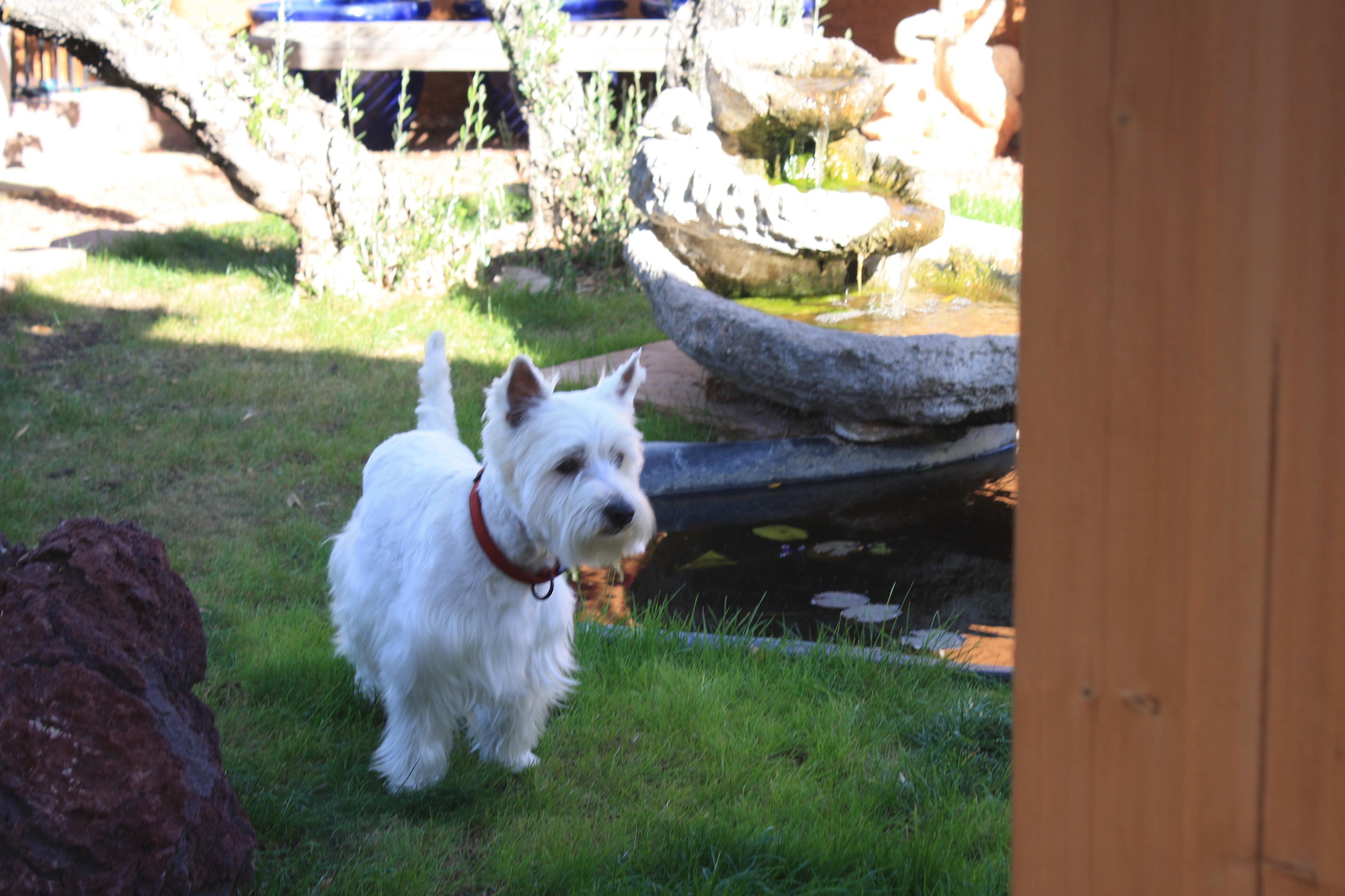 Mesa, AZ - Westie, West Highland White Terrier  Meet Hazel a