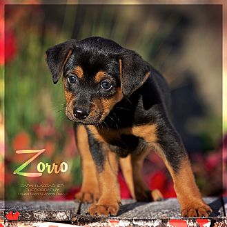 Zorro Male Rottweiler Puppy Ohio Louies Legacy Animal Rescue
