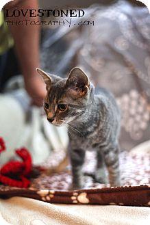 Farmington, MI - Bengal  Meet Toyger: 3 months a Pet for Adoption