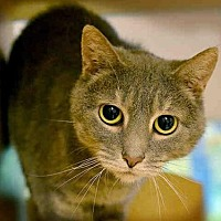 Domestic Mediumhair Cat for adoption in Pittsburgh, Pennsylvania - HESTER