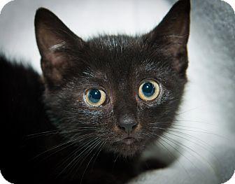 Domestic Shorthair Kitten for adoption in New York, New York - Roy