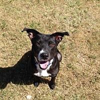 Adopt A Pet :: Daisy - Leander, TX