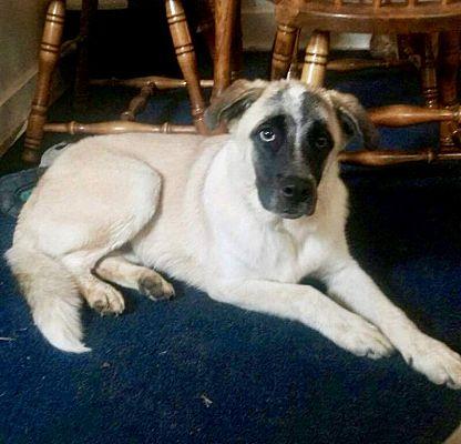 Wichita Falls, TX - German Shepherd Dog  Meet Greg a Pet for