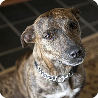 Australian Cattle Dog Black Mouth Cur Mix