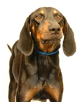 Black and Tan Coonhound Mix Dog for adoption in Newland, North Carolina - Bud