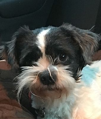 Worcester Ma Shih Tzu Meet Rocky Agility Potential A Pet For