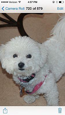 Harwich Port, MA - Bichon Frise  Meet Coco a Pet for Adoption