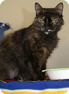 Domestic Mediumhair Cat for adoption in Englewood, Florida - Sabrina