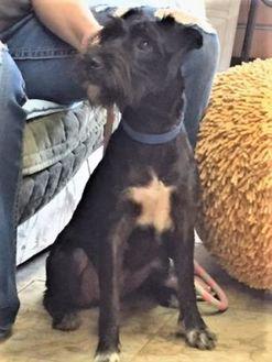 Schnauzer (Standard) Mix Dog for adoption in Livingston, Texas - Bella