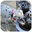 Photo 4 - Dalmatian Puppy for adoption in Mandeville Canyon, California - Emmy II