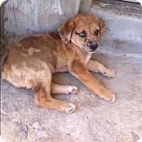 Adopt A Pet :: Aussie Mix Pup - Long Beach, CA