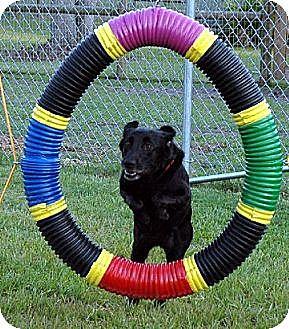 Labrador Retriever Dog for adoption in Sarasota, Florida - Eva