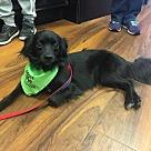 Adopt A Pet :: Trixie - Adoption Pending