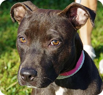 Labrador Retriever/Pit Bull Terrier Mix Dog for adoption in Daytona Beach, Florida - Blackie