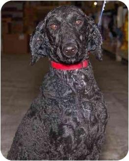 Poodle (Standard) Dog for adoption in Stafford, Virginia - Sheva