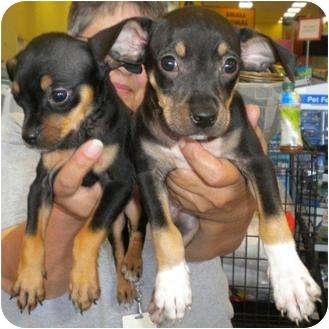 Humble Tx Miniature Pinscher Meet Avonis Pups A Pet For Adoption