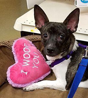 Adopt A Pet :: Penny  - Northwood, NH