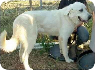 Sealy Tx Great Pyrenees Meet Abbott A Pet For Adoption
