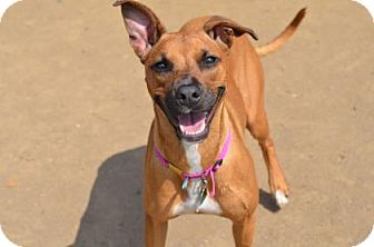Shepherd (Unknown Type)/Rhodesian Ridgeback Mix Dog for adoption in Philadelphia, Pennsylvania - Pebbles