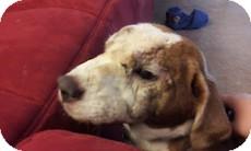 Beagle/Shar Pei Mix Dog for adoption in Madison, Wisconsin - Rusty