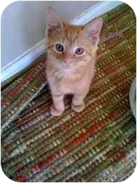 Domestic Shorthair Kitten for adoption in Tampa, Florida - Sunny